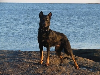 Haunter the Beauceron standing in front of a large body of water