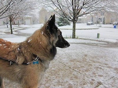 Chloe the Belgian Tervuren outside in a neighborhood getting snow on its fur