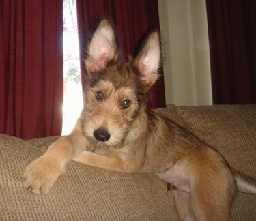 Jett the Berger Picard as a puppy laying at the top of the couch