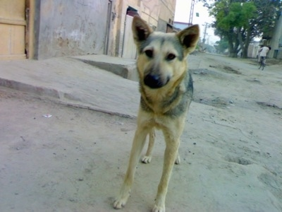 Tabitha, a 6 month old Bhagyari Kutta female living in Pakistan.