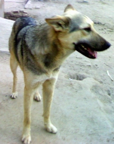 Close up front side view -  A black and tan Pakistani Shepherd Dog is standing on a sandy surface with holes dug in it and it is looking to the right. Its mouth is open and tongue is slightly out and its perk-ears are pinned back.