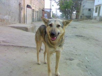 Front view - A black and tan Pakistani Shepherd Dog is standing in sand. It is looking forward, its mouth is open and tongue is out. There are buildings around it. Its perk ears are being held out to the sides.