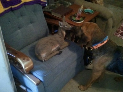 Darlin the Bloodhound standing in front of a deer who is in a recliner