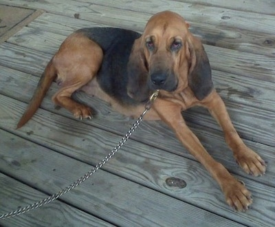 Darlin the Bloodhound laying on a wooden deck with a chain leash
