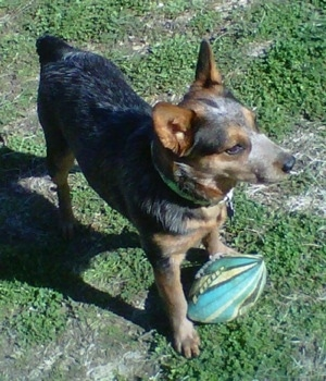 The front right side of a black with brown Australian Cattle Dog that is standing on a lawn, over top of a football and it is looking to the right.