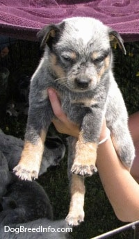 An Australian Cattle Puppy is being held in the air by a person, it is looking down and the rest of the litter is behind it.