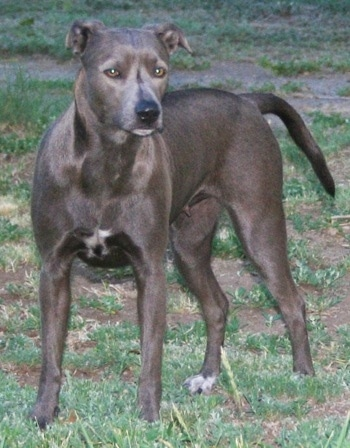 An American Blue Lacy is standing on grass and it is looking forward.