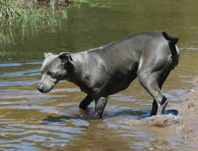 The left side of an American Blue Lacy that is taking a dip in a small body of water