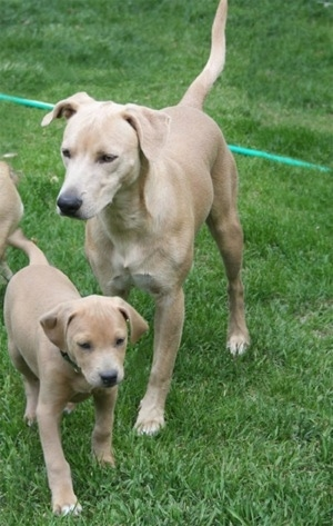 Three American Blue Lacy Puppies playing in a field, two puppies and one adult