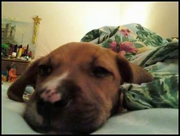 Xena, Beagle/Boxer mix as a puppy.