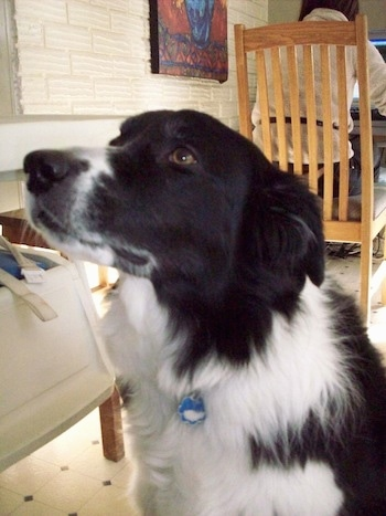 Billie the Border Collie at 6 years old.