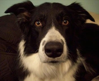 Close Up - Billie the Border Collie's face