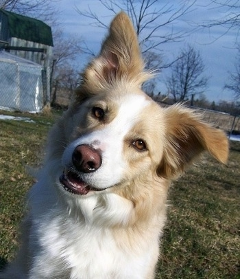 Cobain the yellow and white Border Collie at 4 years old.