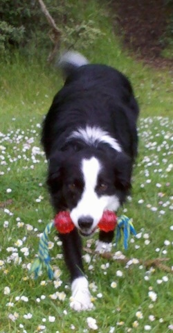 Lacey the Border Collie walking to the camera holder with a blue and green rope toy that has red balls on each end in her mouth