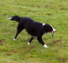 Lacey the Border Collie running in a yard with a rope toy in her mouth