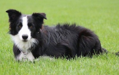 Close Up - Koda the Border Collie laying in a lawn