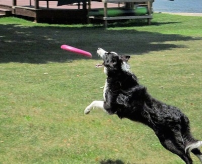 Action shot - Koda the Border Collie jumping in the air to catch a frisbee