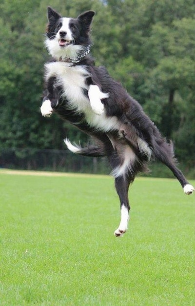 Action shot - Koda the Border Collie mid jump in the air with his mouth open