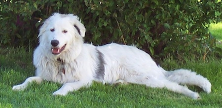 The left side of a white with a streak of black Border Collie Pyrenees is laying in grass, against a bush with its mouth open and it is looking forward.