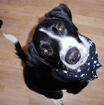 Topdown view of a black with white Border Springer that is sitting on a hardwood floor, it is wearing a bandana and it is looking up.