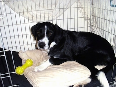 The left side of a black with white Border Springer that is laying inside of a dog crate, on a dog bed with a dog toy in front of it.