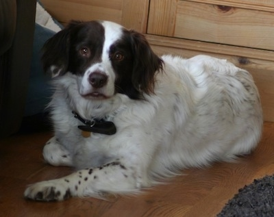 Paddy the Border Springer (Border Collie, Springer Spaniel cross)