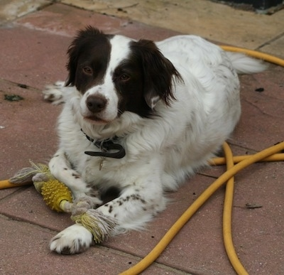 border springer dog breed information and pictures