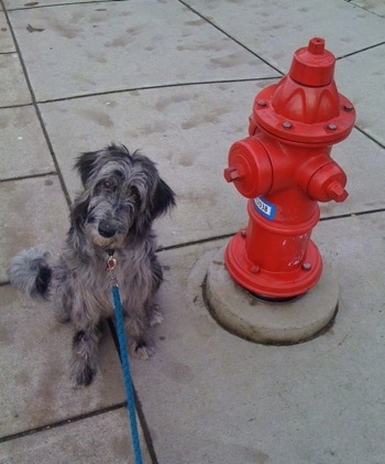Izzy the Bordoodle with its head tilted to the right sitting next to a fire hydrant