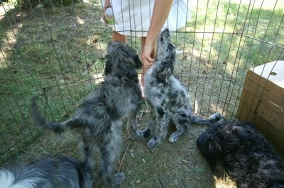 The back of a black and white Bordoodle puppy that is outside with its littermates sitting inside of an x-pen and there is a person reahing down inside of the pen to pet the puppies.