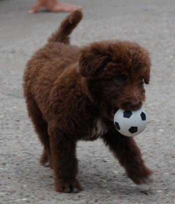 The front right side of a brown with white Bordoodle puppy that has a toy ball in its mouth.