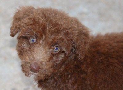 Close Up - The left side of a brown with white Bordoodle puppy, that has its head tilted to the right and it is looking forward.