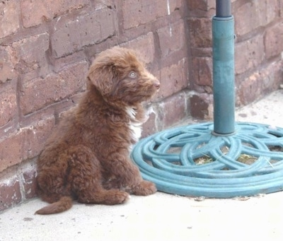 The right side of a brown with white Bordoodle puppy that is sitting against a wall, next to a table umbrella and it is looking to the right.