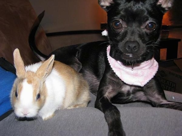 A small black dog with big round brown eyes wearing a pink bandanna laying next to a tan and white rabbit.