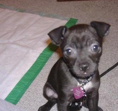 A small black puppy with big round dark brown eyes and a black nose sitting on a carpet in front of a green and white pee pad. The dogs ears fold over at the tips in a v-shape.