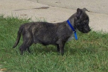 The right side of a black Bostie puppy that is standing across a yard and it is looking down.