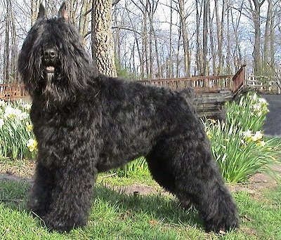 Bajor the Bouvier des Flandres. Courtesy of Bajoron Kennels.