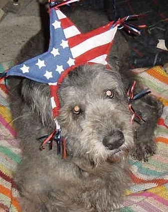 Close Up - Dixie the Bouvier des Flandres laying on a blanket wearing a star hat with an american flag pattern on it