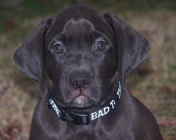 Close Up - Guinness the Boxador puppy wearing a black collar with white letters that say 'Bad to the bone'