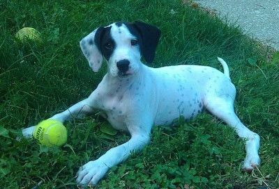 The left side of a white with black Boxapoint puppy that is laying across grass with two tennis balls around it and it is looking forward.