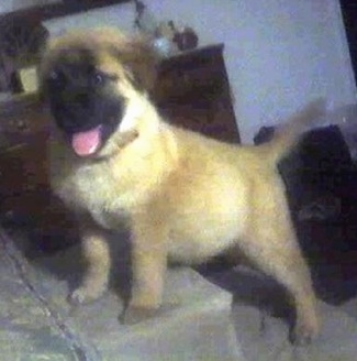 The left side of a tan with a black muzzle Boxer Chow puppy that is standing on a staircase with its mouth open, its tongue out and it is looking forward.
