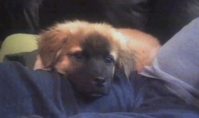 Brandy the Boxer Chow as a puppy laying in the lap of a person