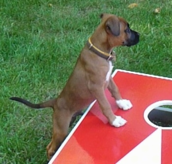 The right side of a brown with white Boxer Chow puppy, that has a blak muzzle, is standing on a cornhole board and it is looking to the right.