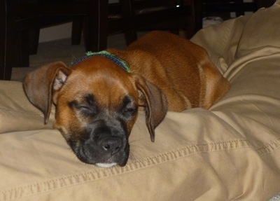 A brown with white Boxer Chow puppy, that has a black muzzle, is sleeping in between a persons legs on a bed