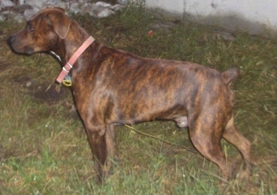 The left side of a brindle Boxerman that is standing across grass and it is looking to the left.