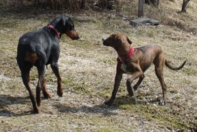 The back right side of a black with brown Doberman Pinscher that is circling a brown brindle with white Doberman Pinscher outside.