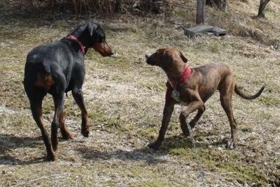 Doberman Pinscher Puppy 3 Months Pinscher Puppy at 5 Months