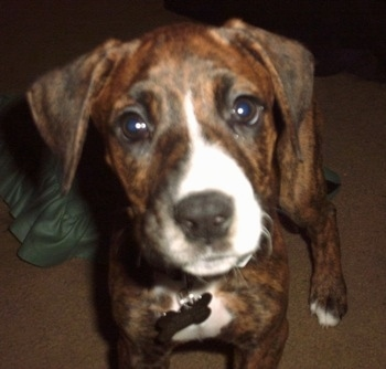 Close Up - A brown brindle with white Boxerman puppy is standing on a carpet and it is looking forward.