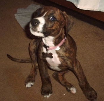 A brown brindle with white Boxerman puppy is sitting on a carpet, its head is turned to the left, but it is looking forward.