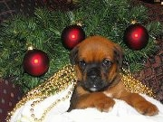 Close Up - Boxweiler puppy laying under a christmas tree