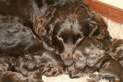 Close Up - Boykin Spaniel puppies with their mother.